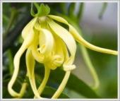 Ylang ylang: Moćan afrodizijak