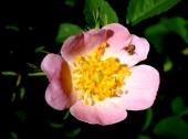 Ulje divlje ruže - recepti